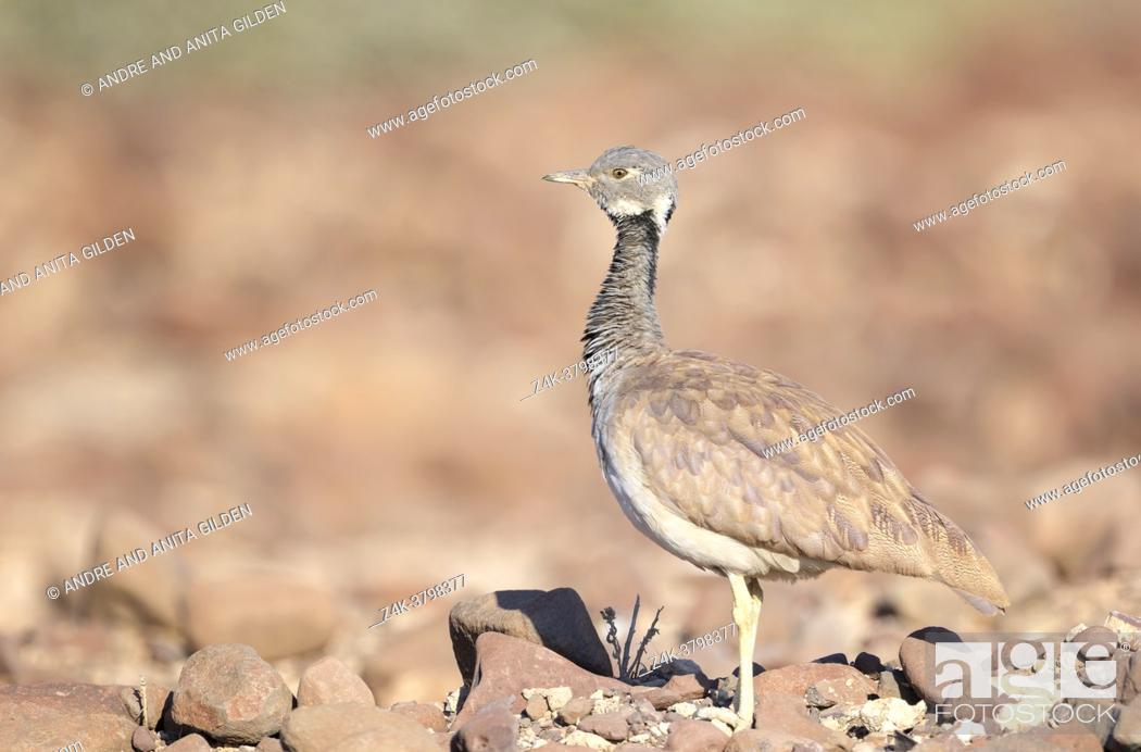 Imagen: Ruppell's korhaan or Ruppell's bustard (Eupodotis rueppellii) standing in desert, Palmwag Concession, Damaraland, Namibia.