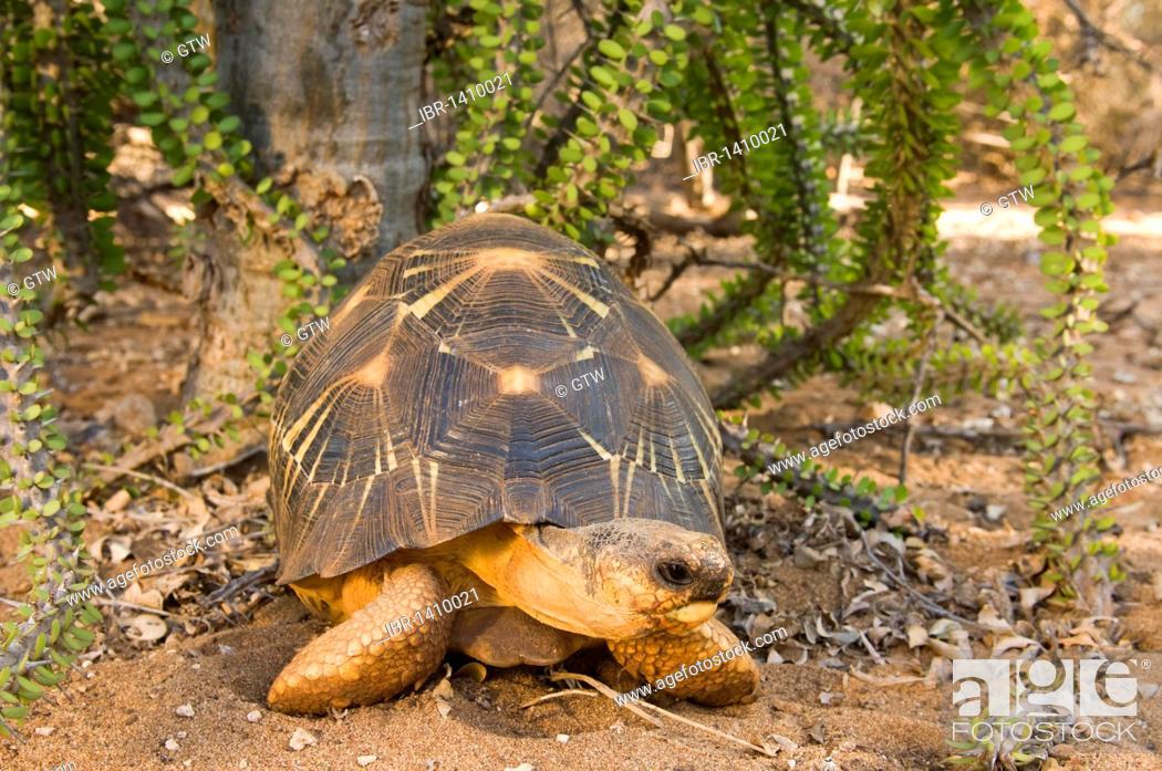 Stock Photo: Radiated Tortoise (Astrochelys radiata), Berenty Nature Reserve, Madagascar, Africa.
