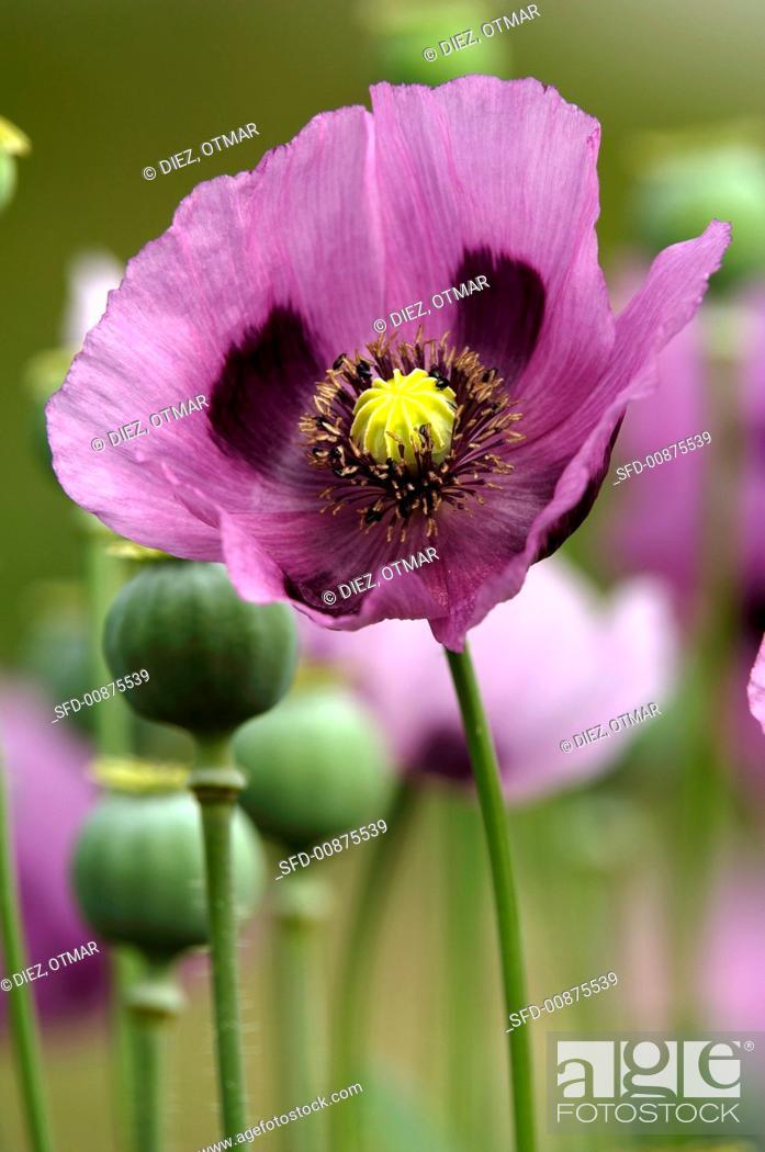 Imagen: Opium poppies in the field.