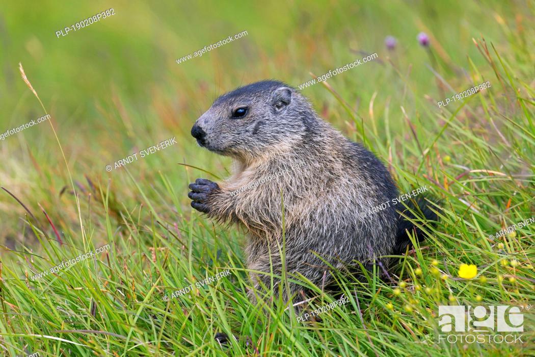 Stock Photo: Alpine marmot (Marmota marmota) juvenile in alpine pasture in summer, Hohe Tauern National Park, Carinthia, Austria.