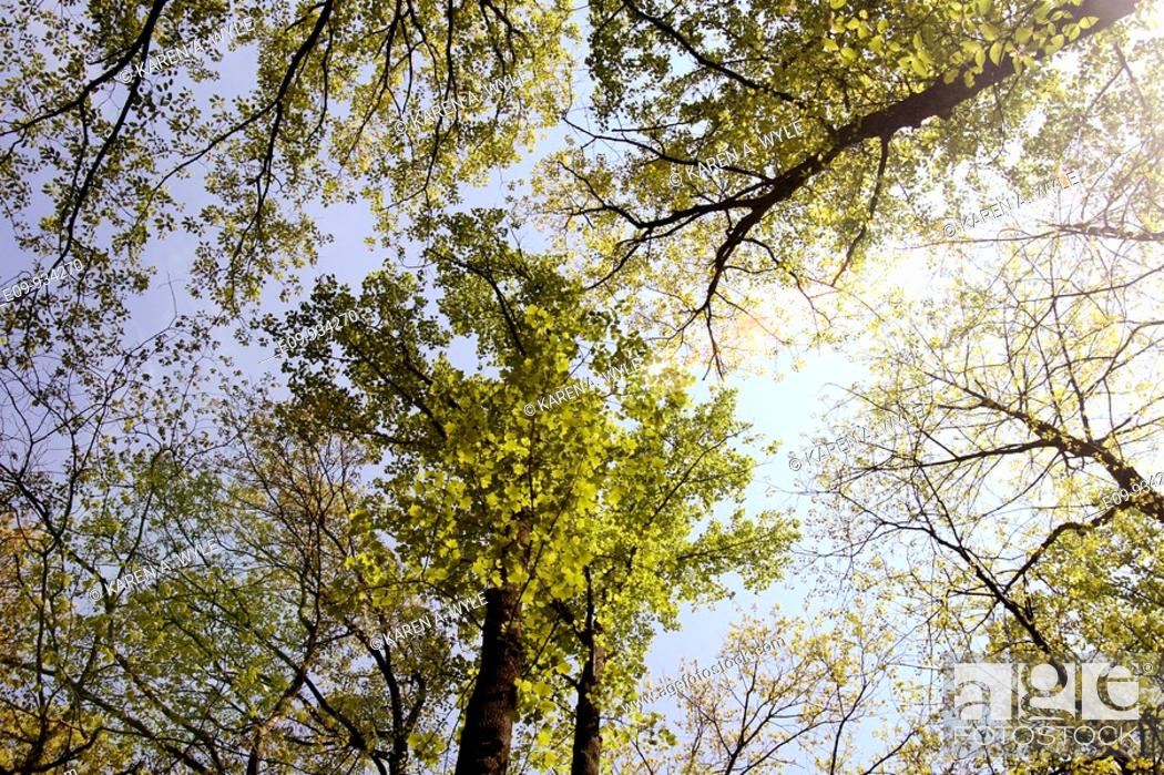 Stock Photo: oaks with spring foliage from below, Monroe County, Indiana.