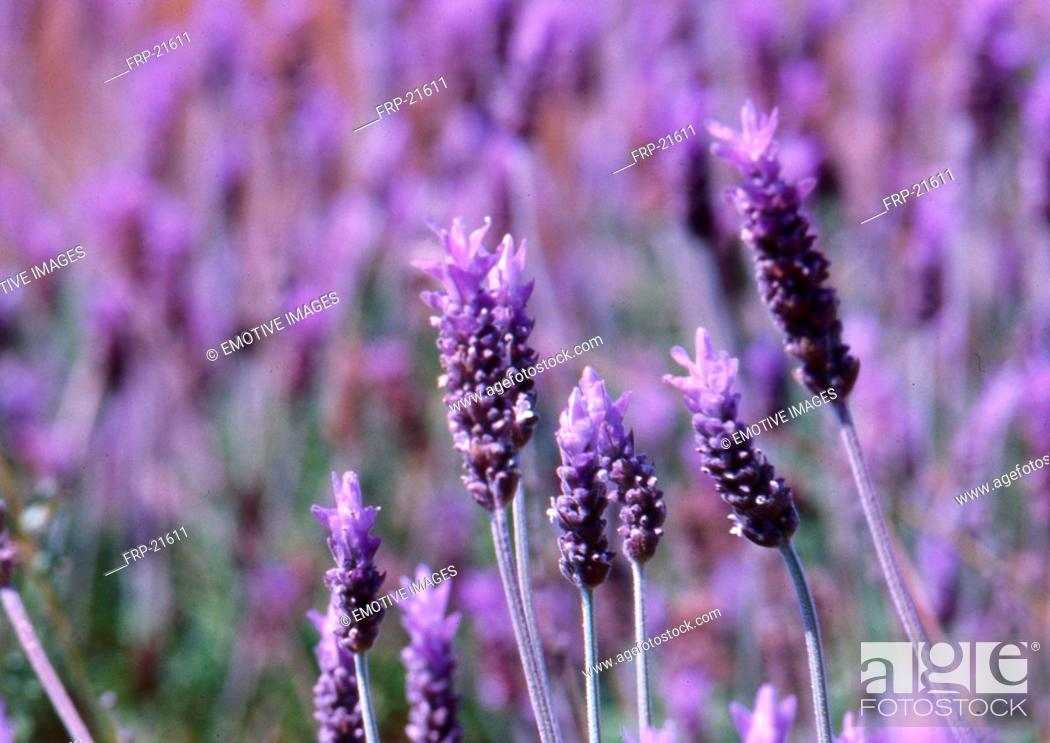 Stock Photo: Detail: Lavender on a field Lavandula angustifolia.