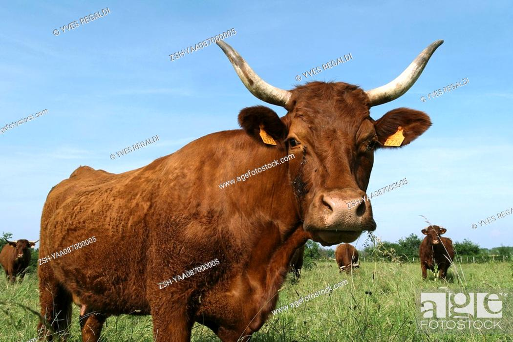 Stock Photo: Dairy cow in pasture, portrait.