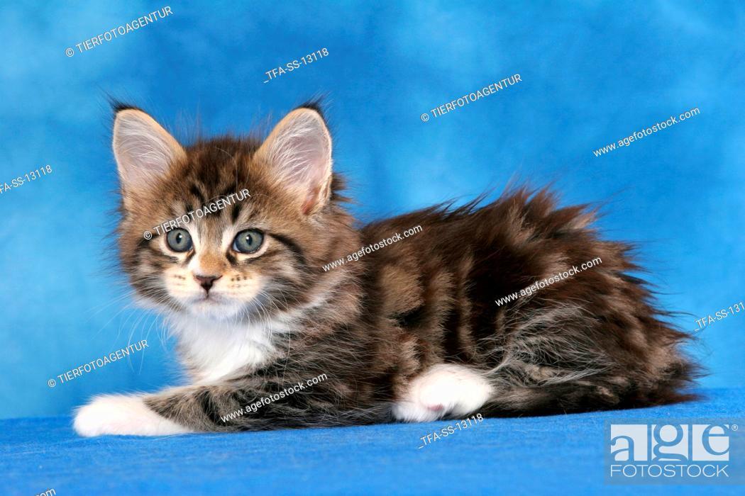 Stock Photo: lying Maine Coon kitten.