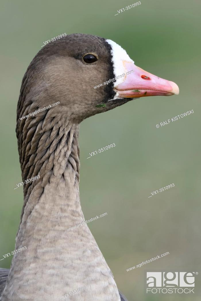 Stock Photo: Greater White-fronted Goose / Blaessgans ( Anser albifrons ) detailed close-up, portrait, headshot, frontal view, wildlife, Europe.