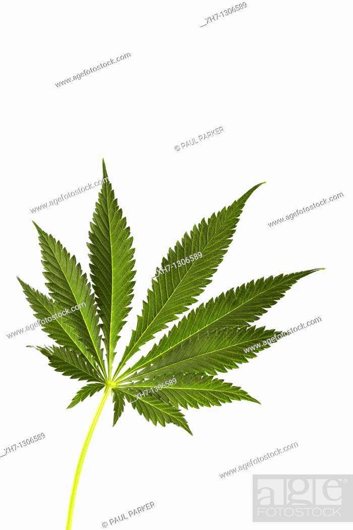 Stock Photo: Cannabis Leaf.