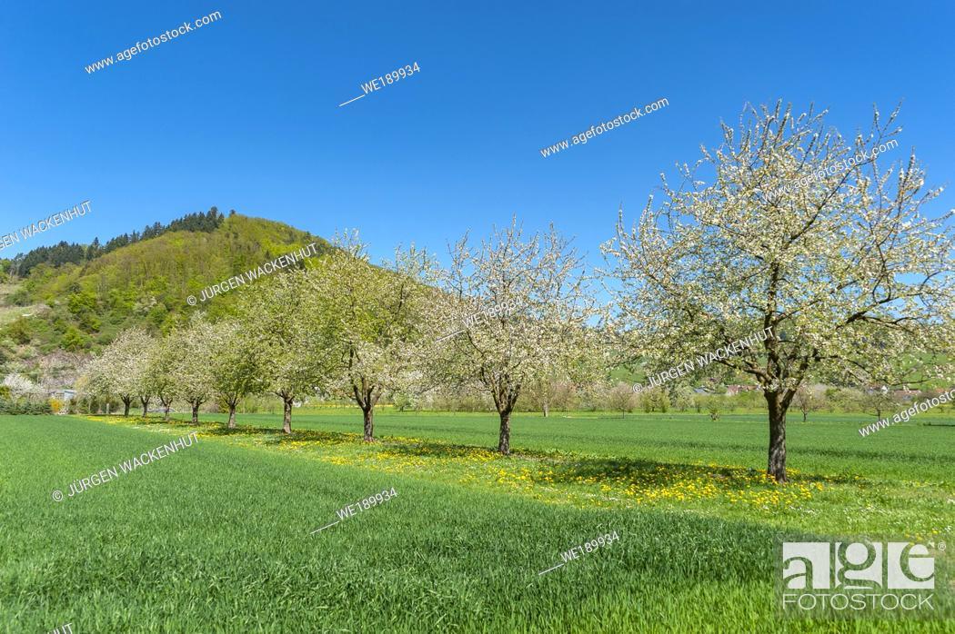 Stock Photo: Landscape with flowering fruit trees, Ortenberg, Black Forest, Baden-Wurttemberg, Germany, Europe.