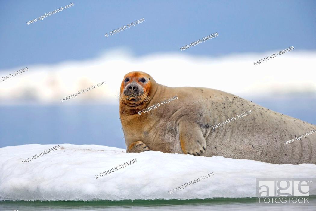 Stock Photo: United States, Alaska, Arctic National Wildlife Refuge, Kaktovik, Bearded seal (Erignathus barbatus), on the ice floe.