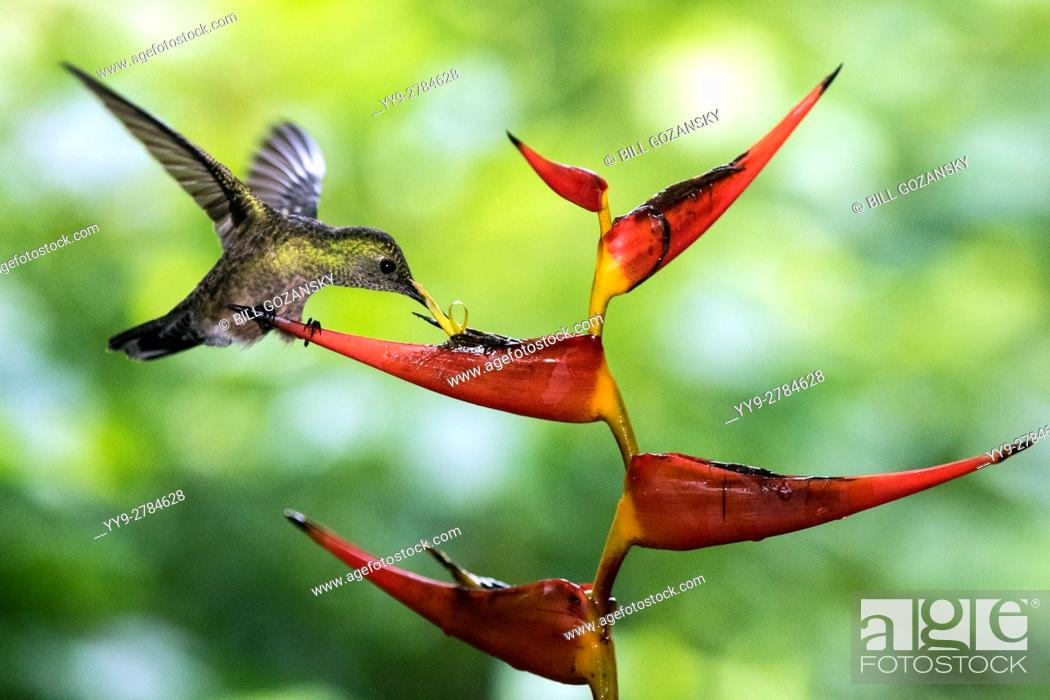 Stock Photo: Scaly-breasted Hummingbird (Phaeochroa cuvierii) - Boca Tapada, San Carlos, Costa Rica.