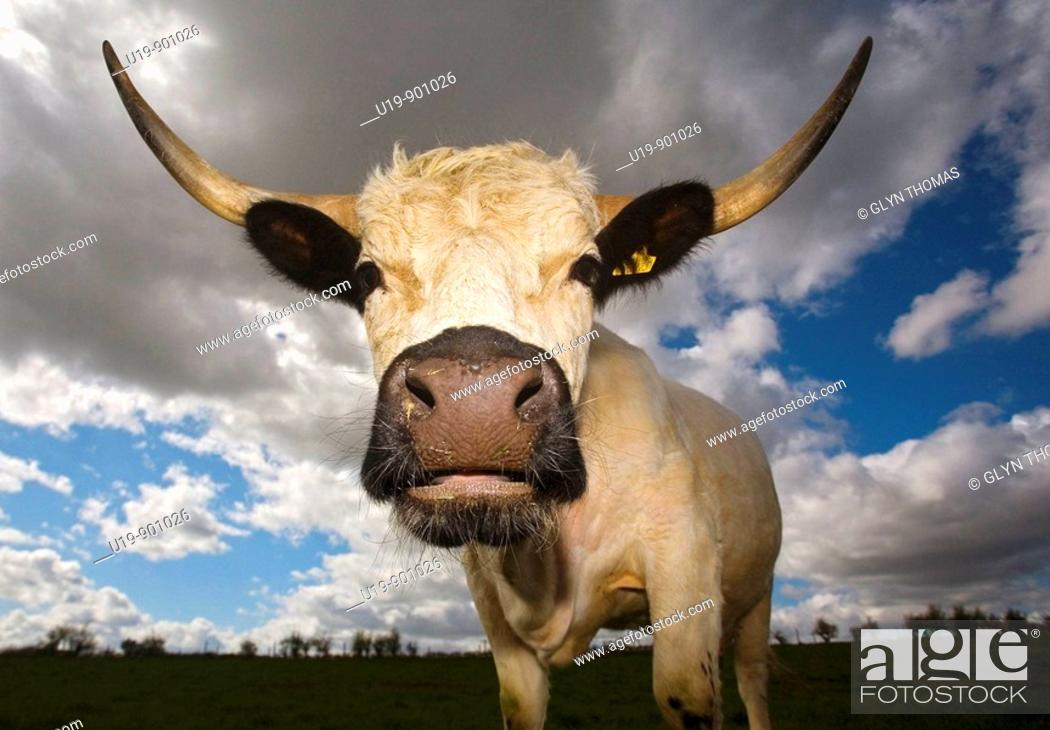 Stock Photo: White Park Cattle.
