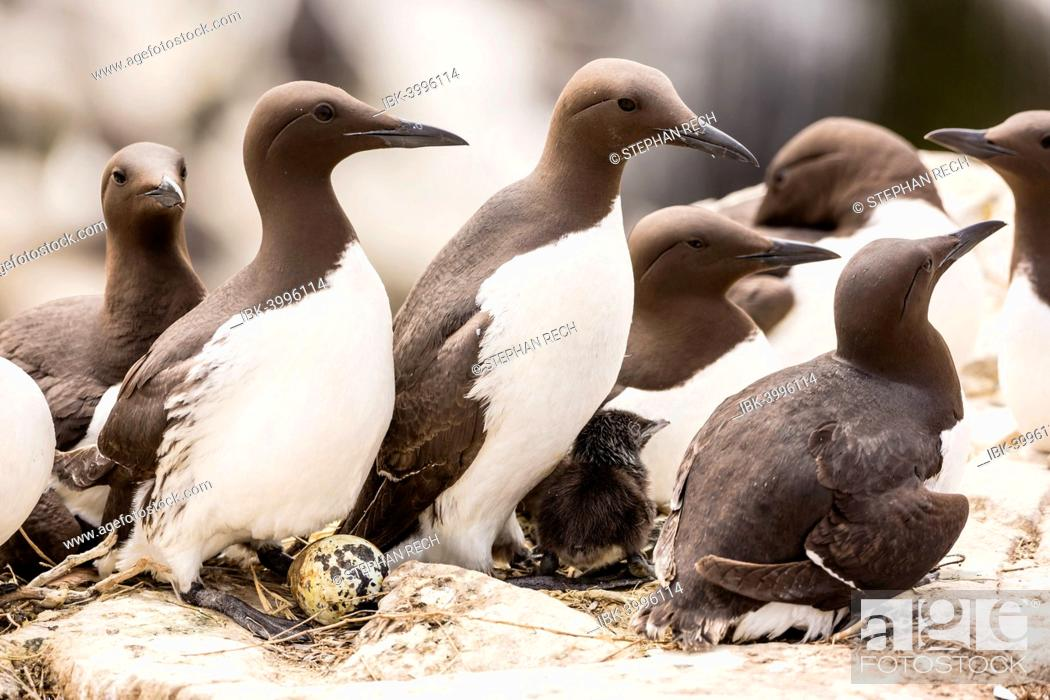 Stock Photo: Common Guillemots (Uria aalge), Farne Islands, Northumberland, England, United Kingdom.