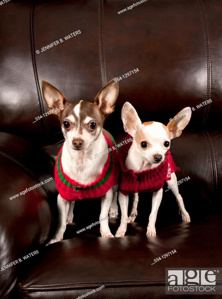 Stock Photo: Two chihuahuas wearing sweaters stand on a couch indoors.