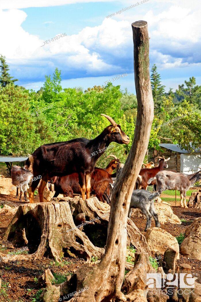 Stock Photo: goats, Alt Emporda, Catalonia, Spain.