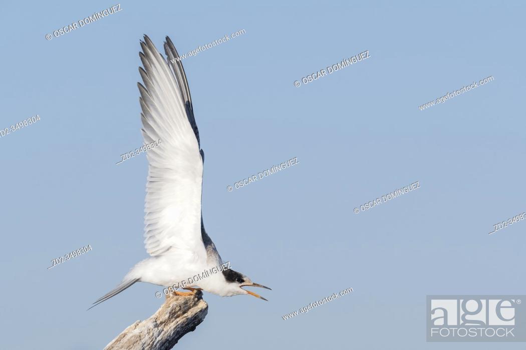 Stock Photo: Common Tern (Sterna hirundo) juvenile stretching wings. Nemunas Delta. Lithuania.