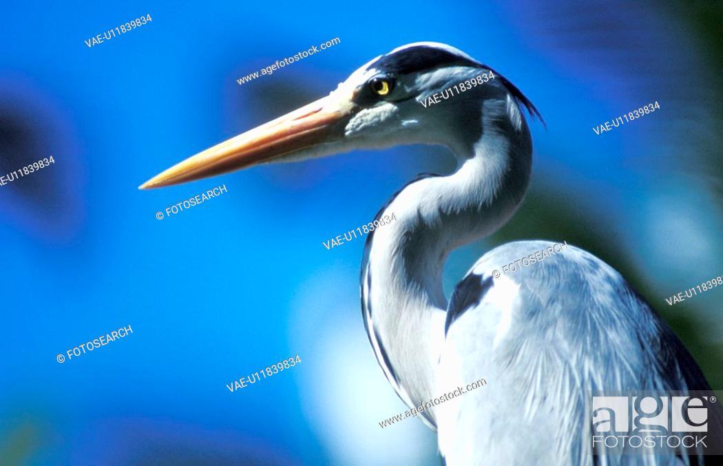 Stock Photo: stelzvogel, aichner, animals, ardeidae, aves.