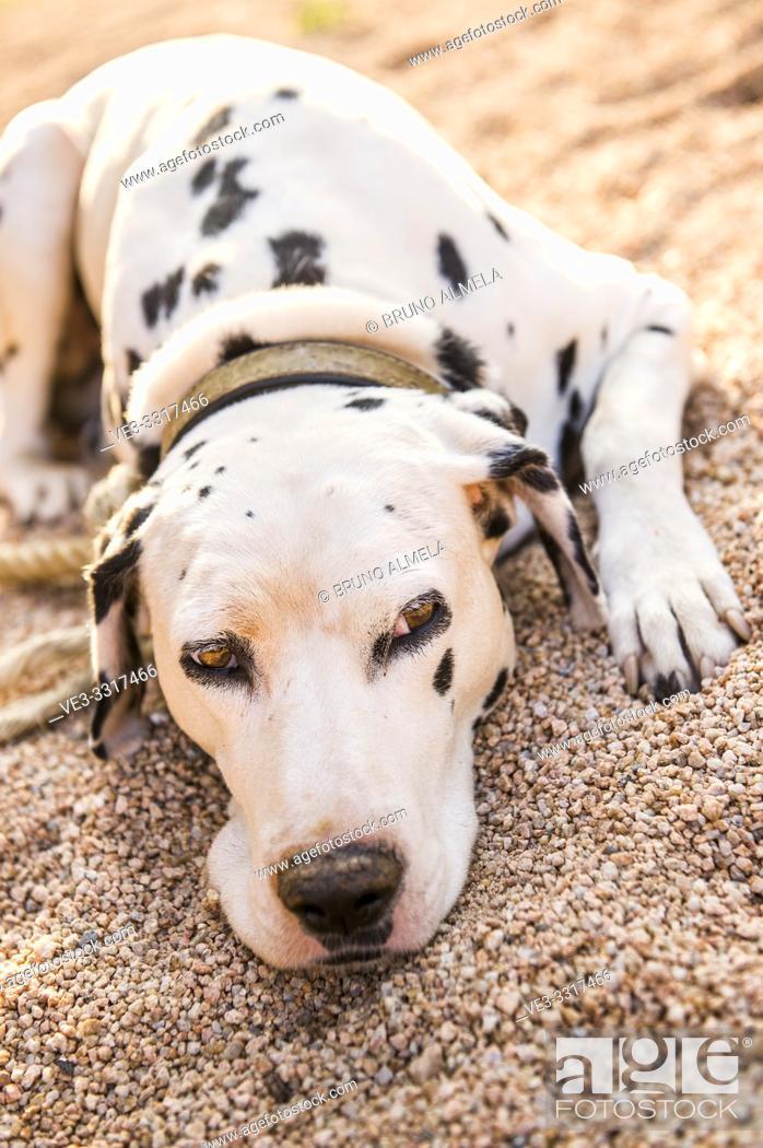 Imagen: Dalmatian dog resting in garden.