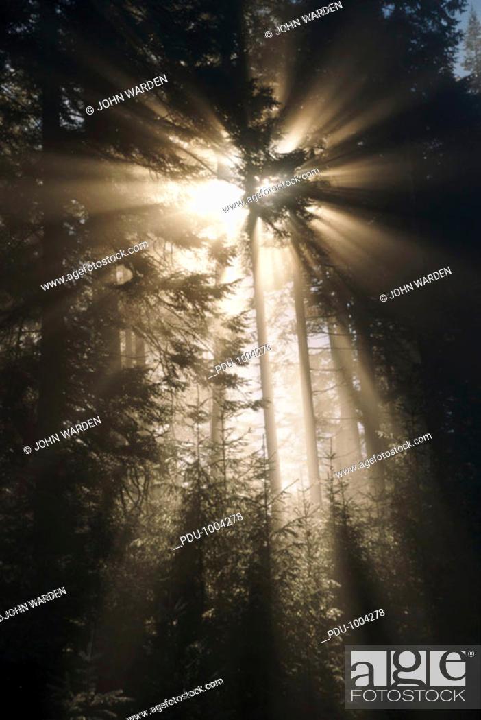 Stock Photo: USA, Oregon, sunlight shining on fir trees in forest, sunrise.
