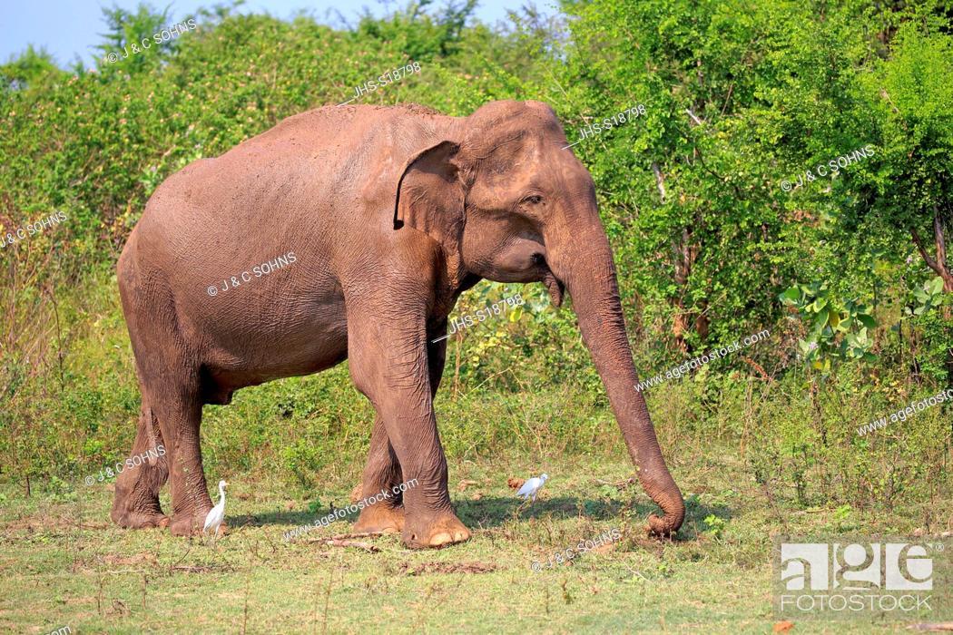Stock Photo: Sri Lankan Elephant, (Elephas maximus maximus), Asian Elephant, adult male searching for food, Udawalawe Nationalpark, Sri Lanka, Asia.