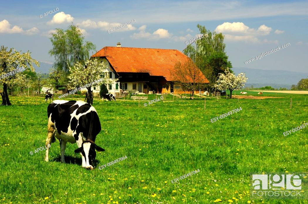 Stock Photo: Grazing cow on a pasture in front of a farm house, Switzerland.