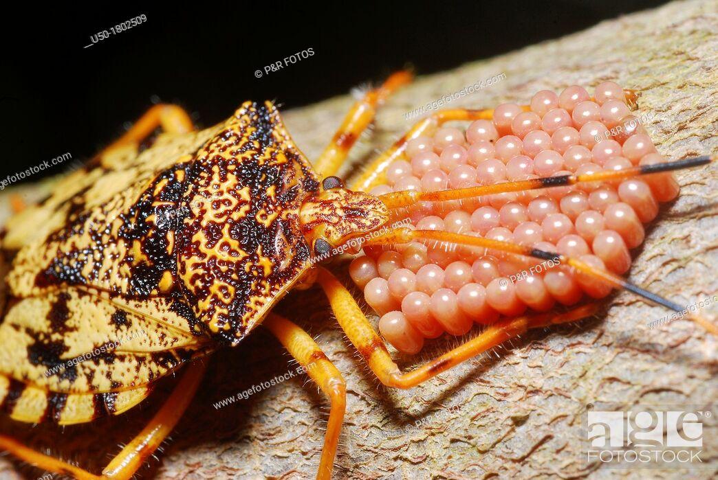 Stock Photo: Stink bug on parental care Pentatomidae, Heteroptera, Hemiptera  1  eggs before eclosion  2012.