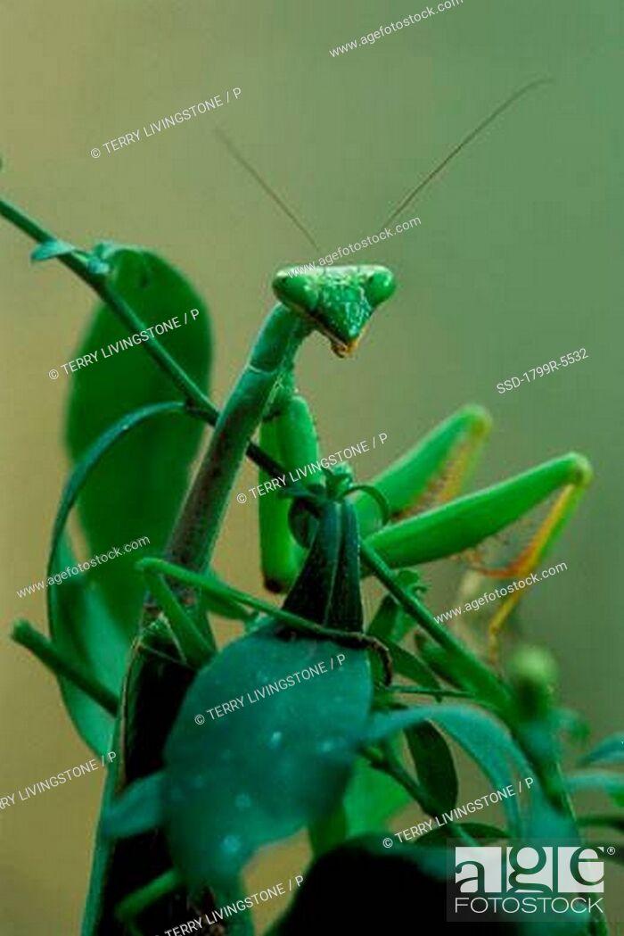 Imagen: Close-up of a praying mantis Mantis religiosa on a plant.