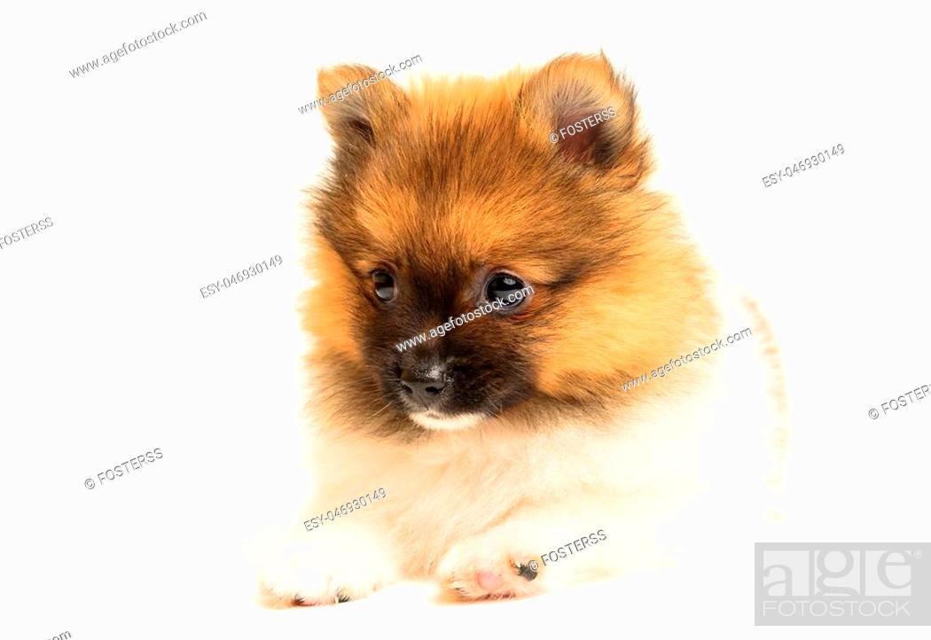Stock Photo: pomeranian puppy the age of 2 month isolated on white background.
