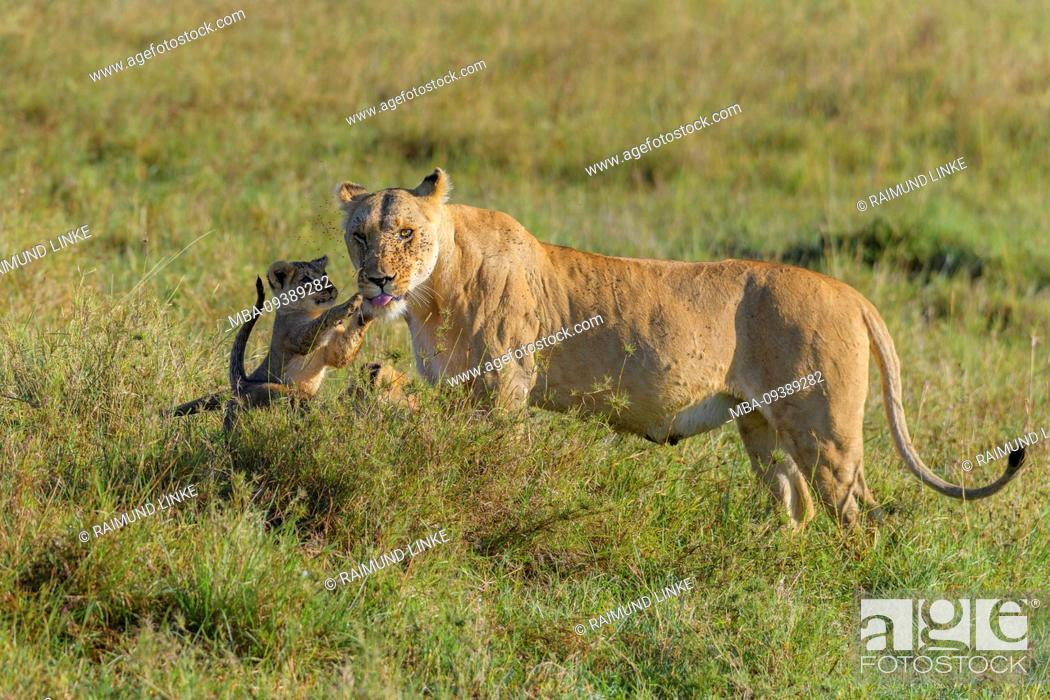 Stock Photo: African lion, Panthera Leo, female with two cubs, Masai Mara National Reserve, Kenya, Africa.