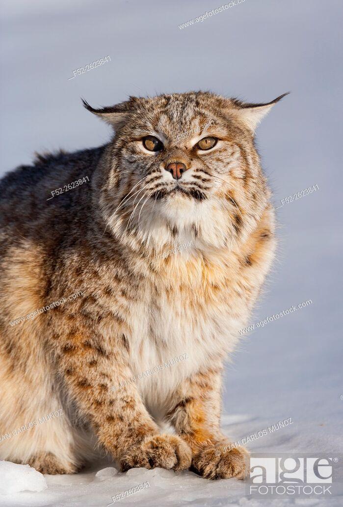 Stock Photo: Bobcat (Lynx rufus).