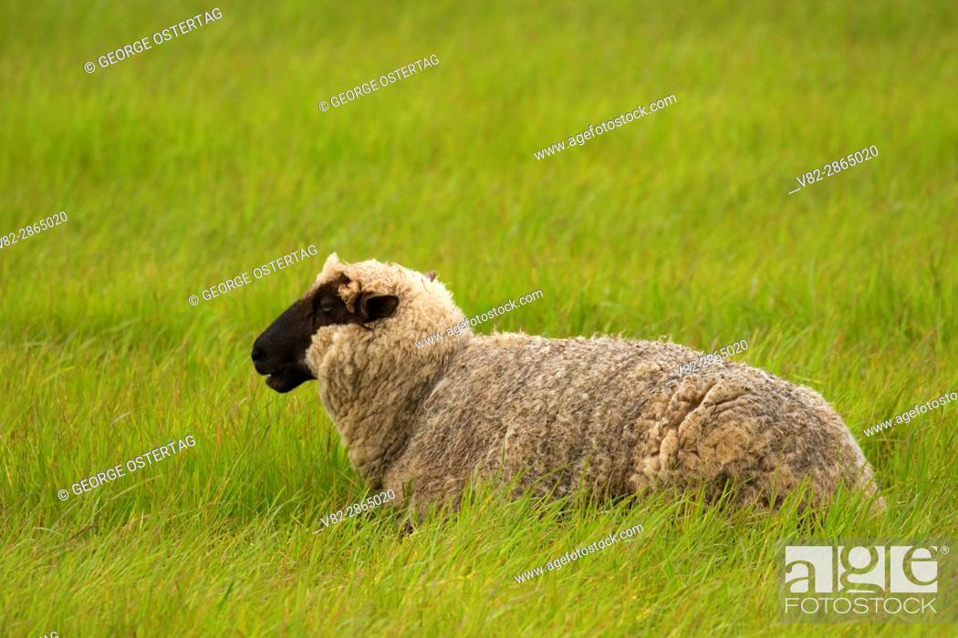 Stock Photo: Sheep, Linn County, Oregon.
