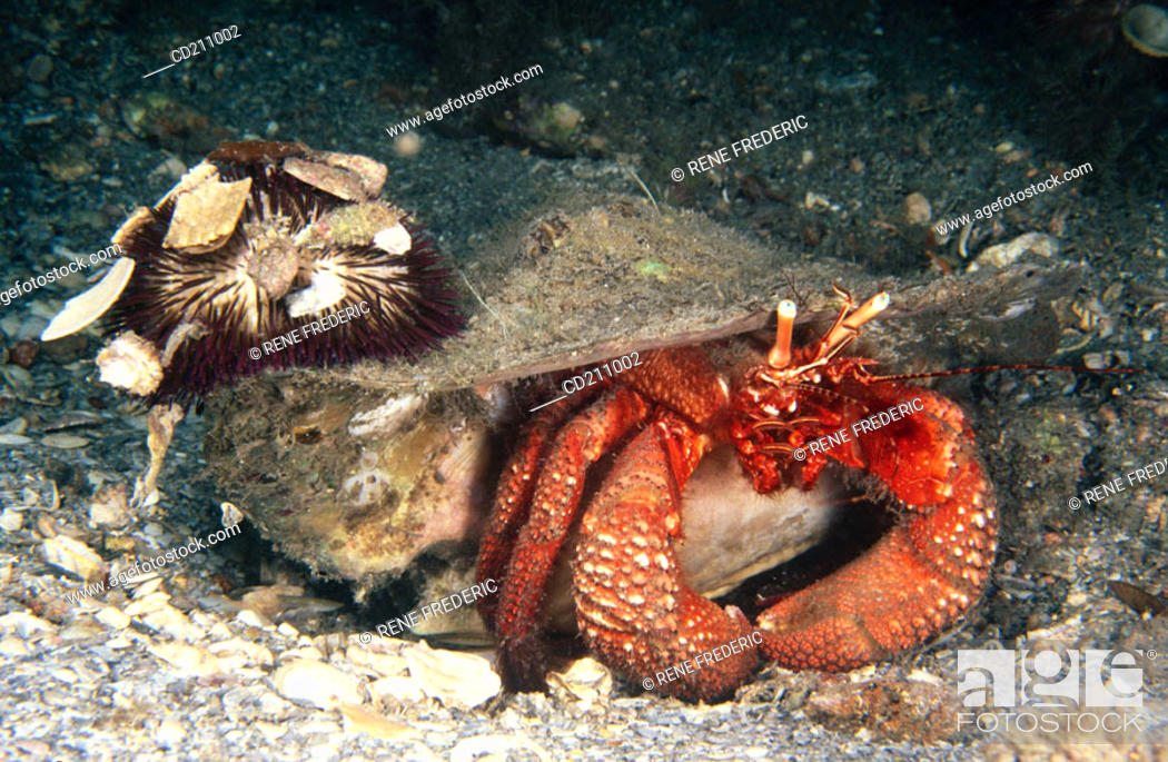 Stock Photo: Giant Red Hermit (Petrochirus diogenes) with sea urchin on shell. Florida. USA.