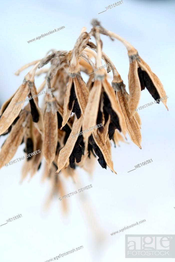 Stock Photo: Black Hosta seeds hanging from the dried pods in Winter.
