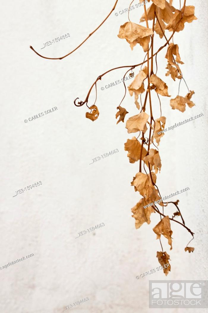 Stock Photo: Brown leaves.