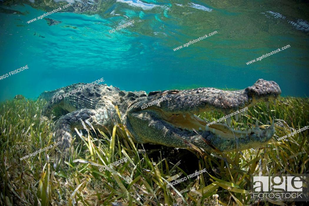 Stock Photo: American crocodile (Crocodylus Acutus) crawls in shallows, Chinchorro Atoll, Mexico.