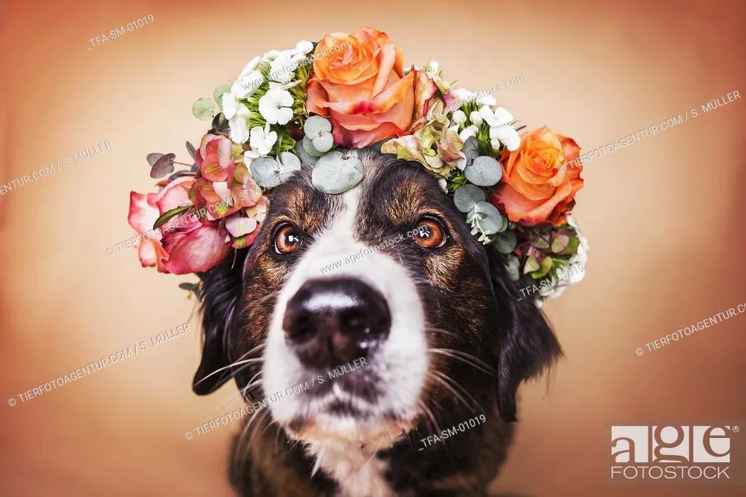 Stock Photo: Bernese Mountain Dog Mongrel.