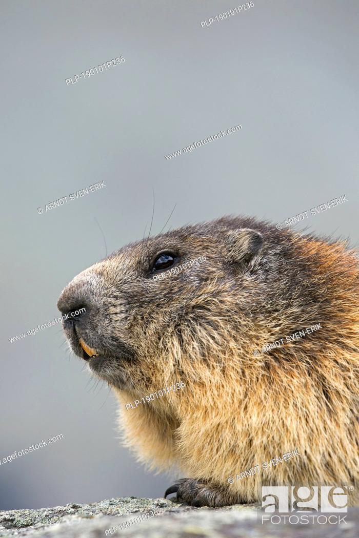 Stock Photo: Alpine marmot (Marmota marmota) close-up portrait in summer, Hohe Tauern National Park, Carinthia, Austria.