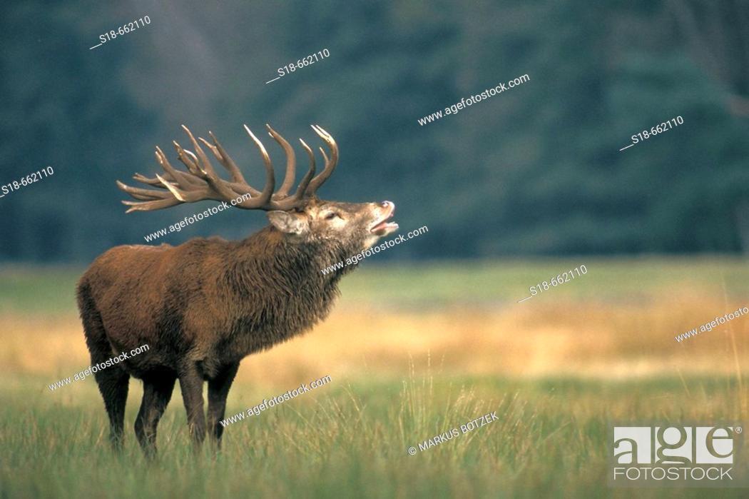 Stock Photo: Male red deer (Cervus elaphus) in heat. North Rhine-Westphalia. Germany.