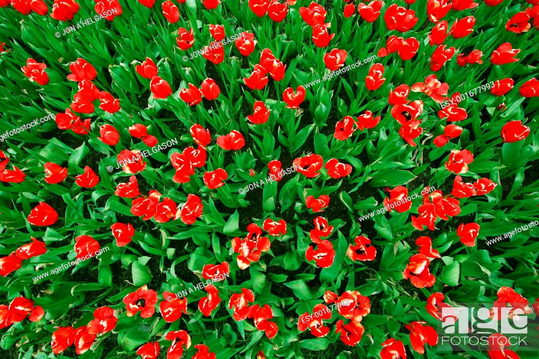 Stock Photo: Red tulips Birds view.