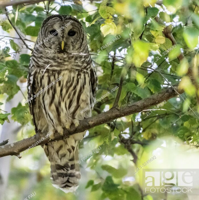Stock Photo: The barred owl (Strix varia), also known as northern barred owl or hoot owl, is a true owl native to eastern North America.