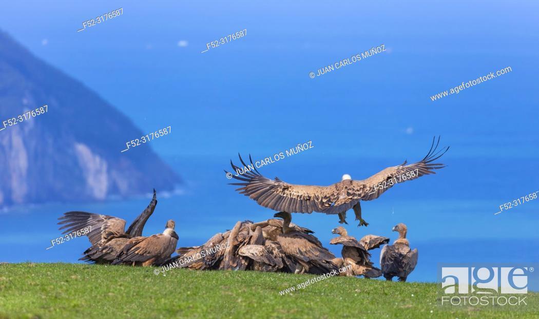 Imagen: Griffon vultures (Gyps fulvus), Mount Buciero, Santoña, Cantabria, Spain.
