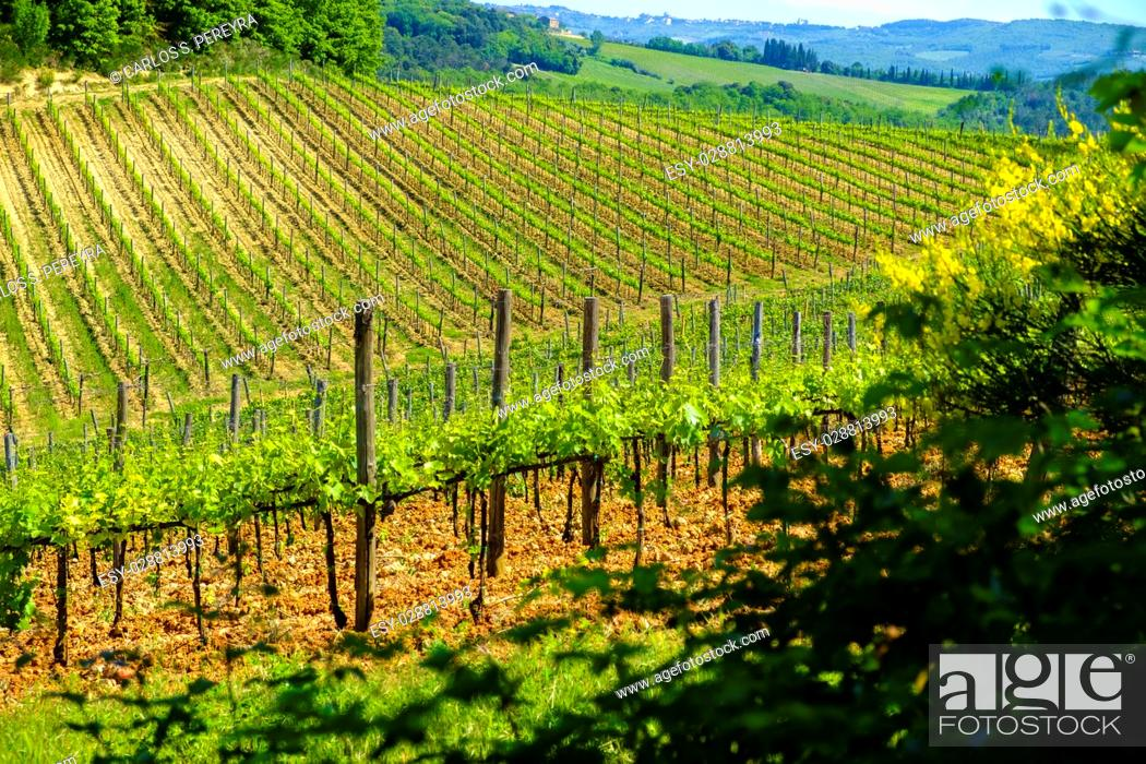 Stock Photo: Vineyards around Monteriggioni small medieval hill town in Tuscany, Italy.