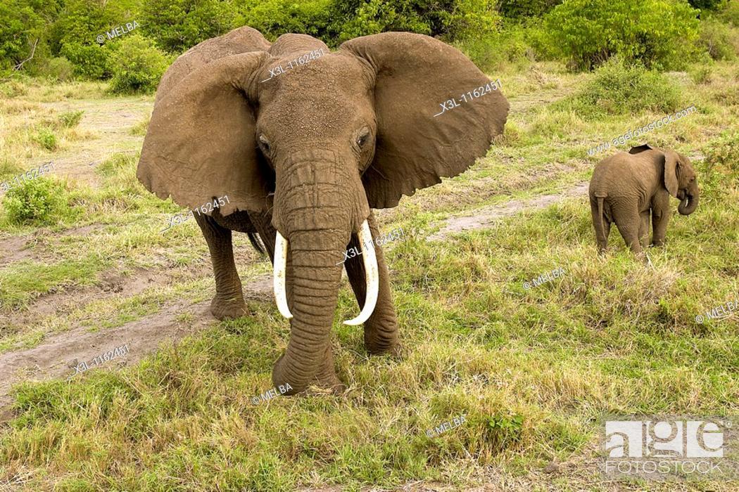 Stock Photo: Loxodonta africana African elephant Manyara National Park Tanzania Africa.