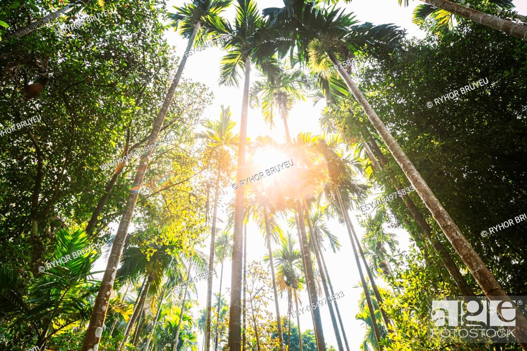 Stock Photo: Goa, India. Sunny Canopy Of Palm Trees. Upper Branches Of Woods In Jungle Forest. Low Angle View. Bottom Wide Angle View Of Tall Palm Tree, Sky Background.