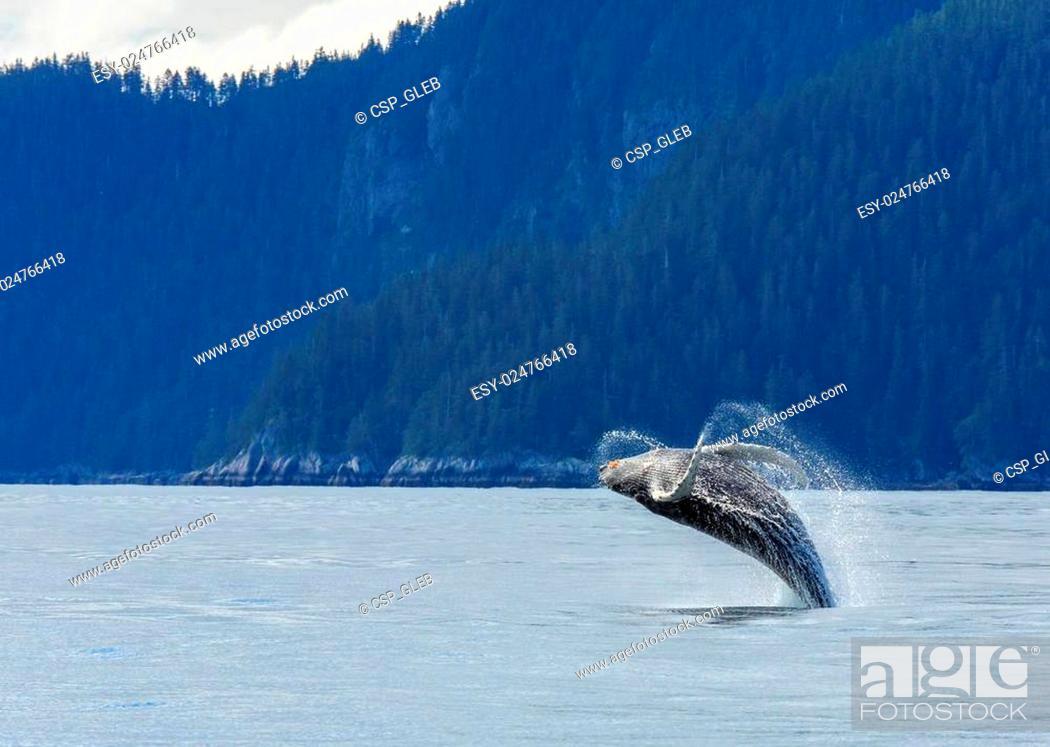 Stock Photo: Hampback Whale breaching.