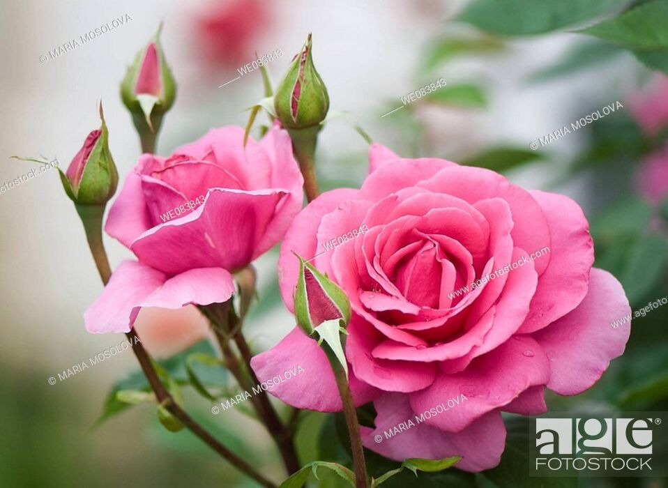 Stock Photo: Pink Rose Flowers and Buds. Rosa hybrid.