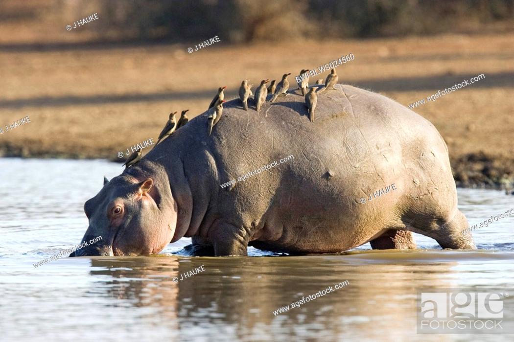 Stock Photo: hippopotamus or hippo Hippopotamus amphibius, with beefeater, South Africa, Krueger Nationalpark, Krueger Nationalpark.