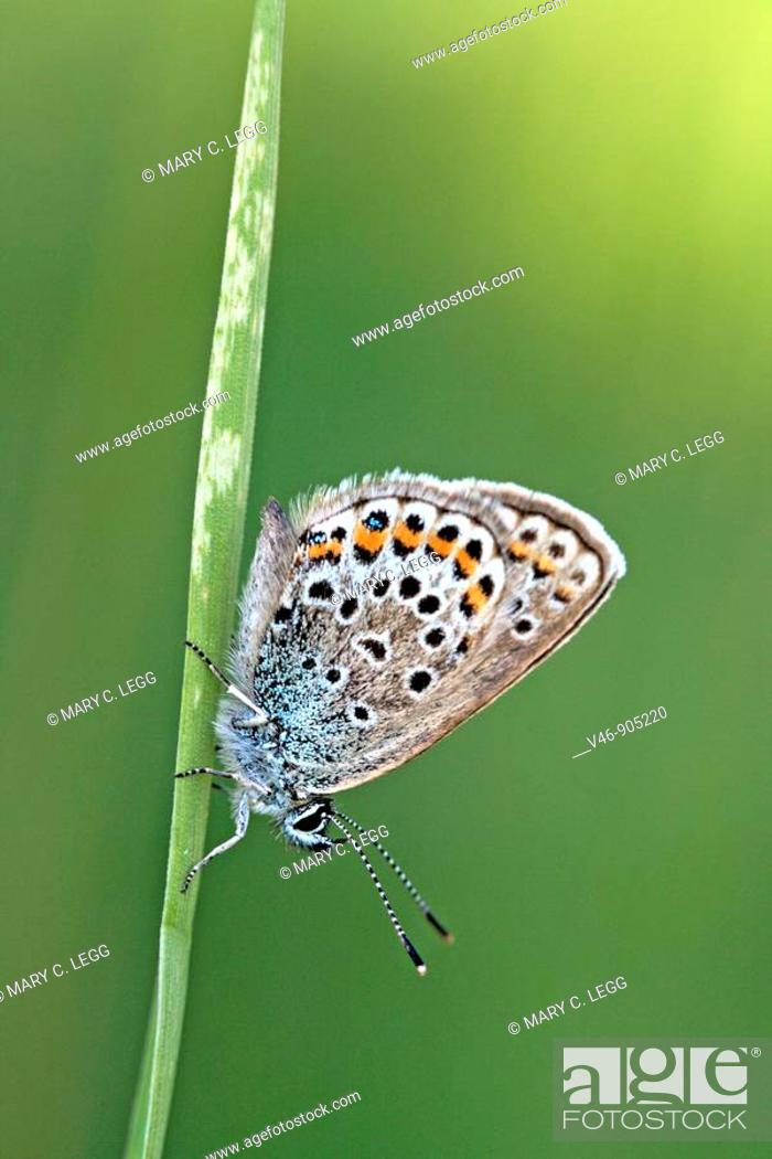 Stock Photo: Common Blue, polyommatus icarus on a blade of grass, settled for evening sleep.