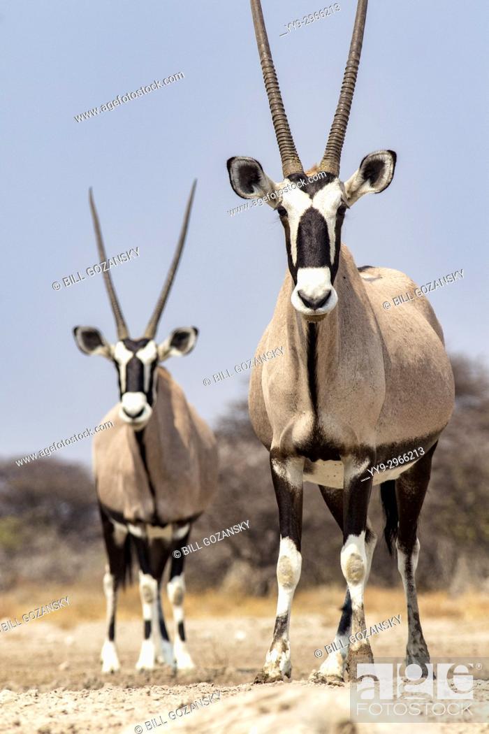 Stock Photo: Gemsbok or Oryx (Oryx gazella) - Onkolo Hide, Onguma Game Reserve, Namibia, Africa.
