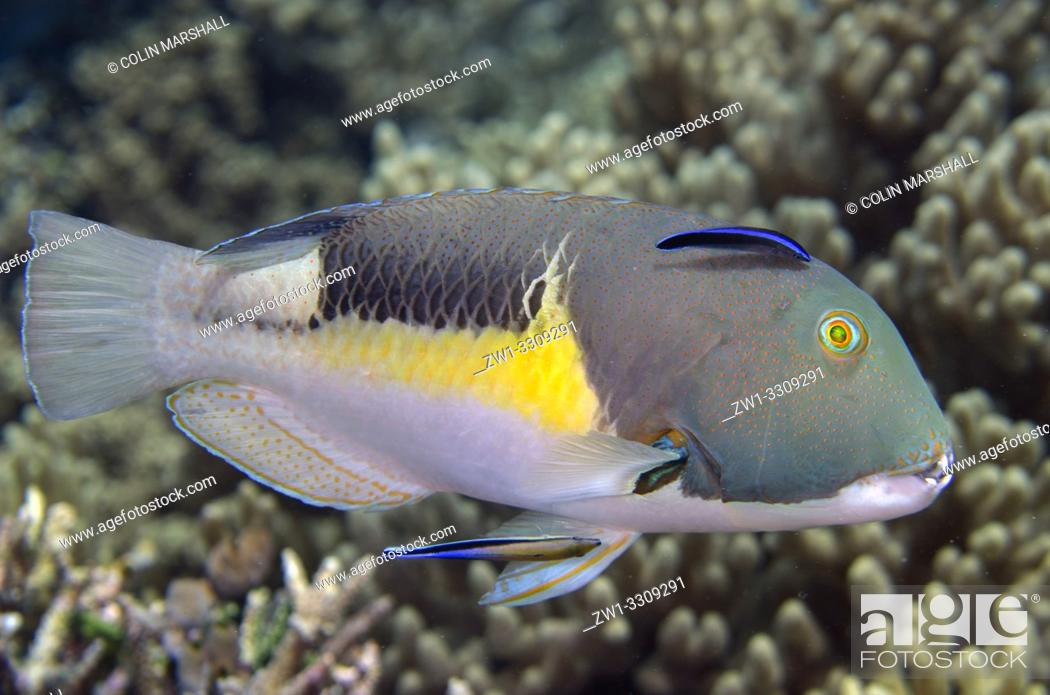 Stock Photo: Male Anchor Tuskfish (Choerodon anchorago) being cleaned by pair of Bluestreak Cleaner Wrasse (Labroides dimidiatus), Sawanderek Jetty dive site, Mansuar Island.