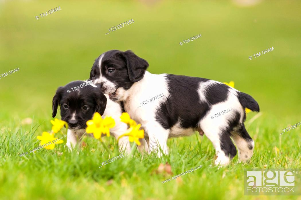 Stock Photo: Two English Springer Spaniel puppies at 6 weeks old playing and showing movement.