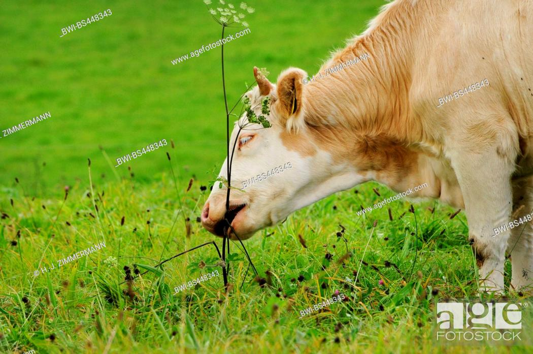 Stock Photo: domestic cattle (Bos primigenius f. taurus), grazing cattle on a pasture, portrait, Germany, Rhineland-Palatinate.